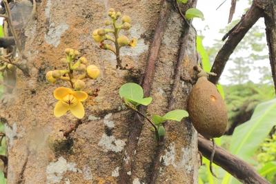Cultivo de frutos para alimentar a especies del Cocazoo