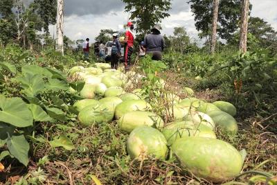Gran cosecha de sandías en San Miguel de Guayusa